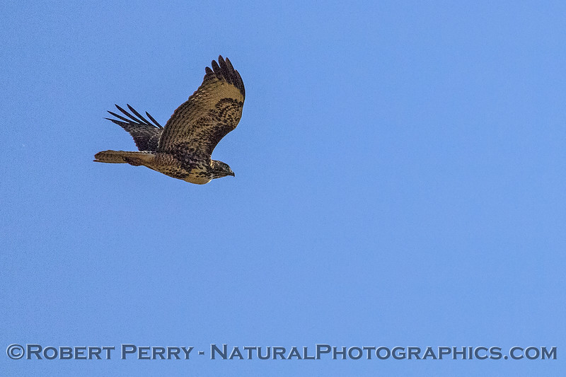 Buteo jamaicensis in flight 2017 11-01 Payen-005