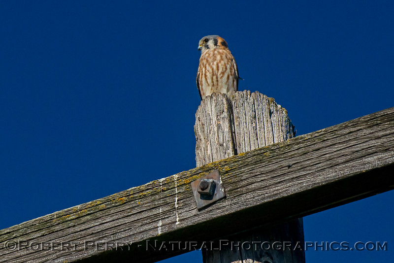 American kestrel relaxes after chasing a red-tailed hawk out of the area.