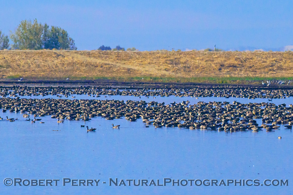 Canada geese in a flooded field/pond