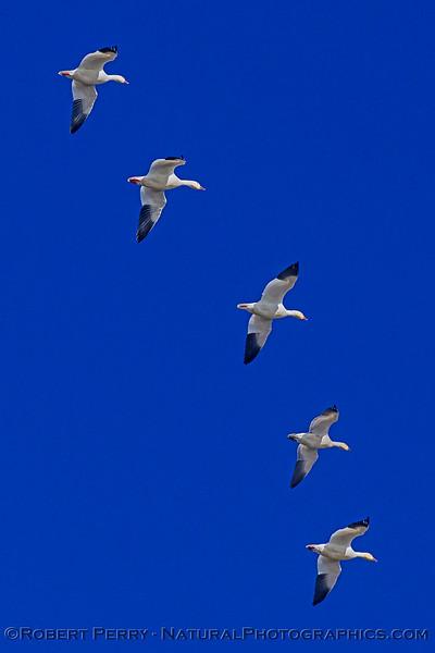 Snow geese.