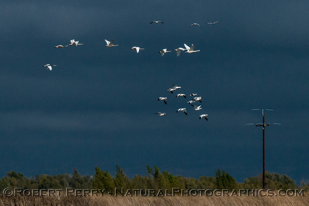 Snow geese and tundra swans in flight.