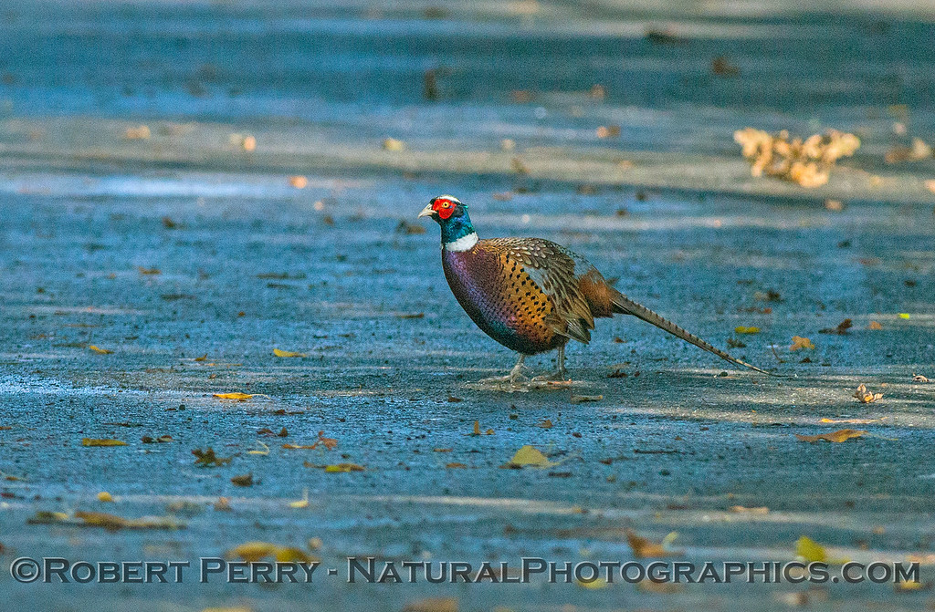 Phasianus colchicus Ring-necked pheasant 2017 11-11-Butte County-002