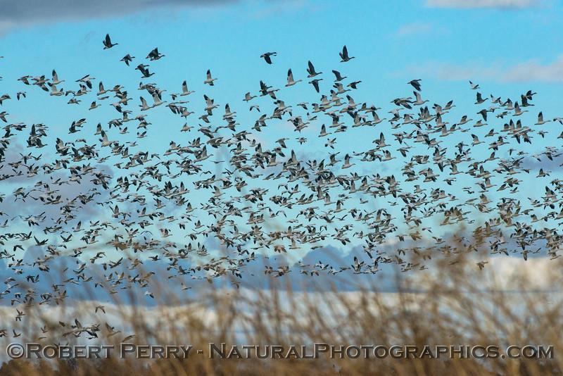 Snow geese masses.
