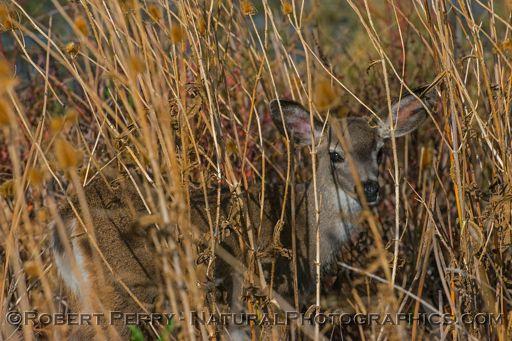Fawn in the reeds.