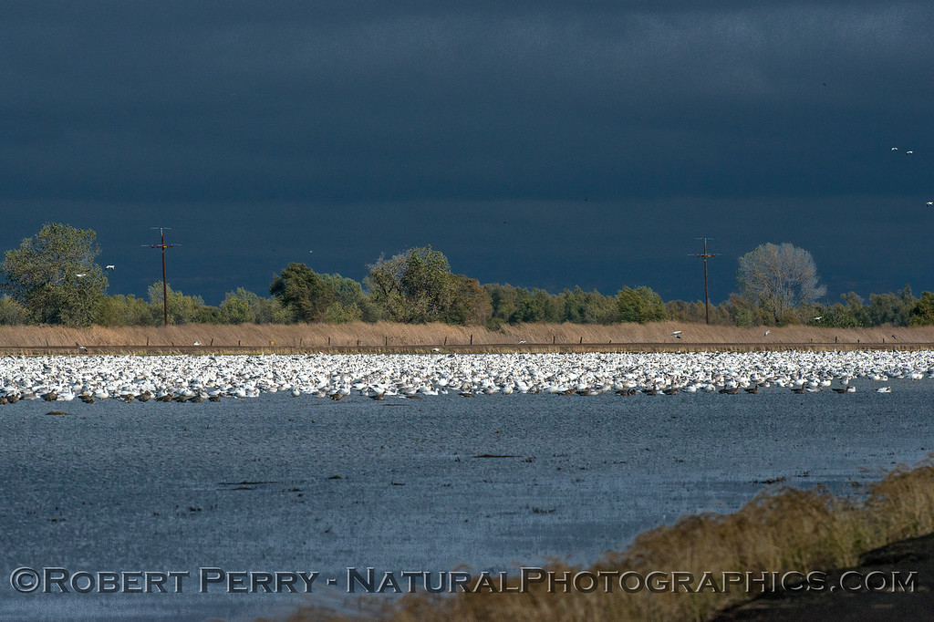 Snow geese masses.