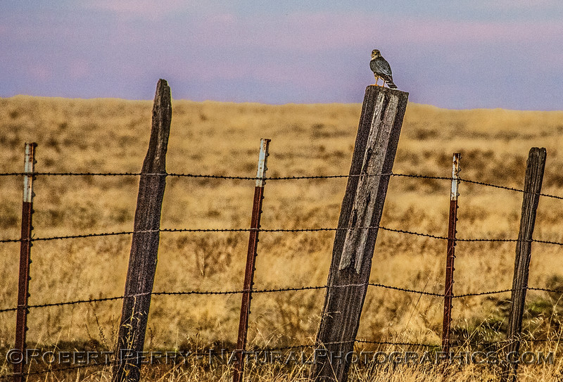 Kestrel on a fence post in the late afternoon sun