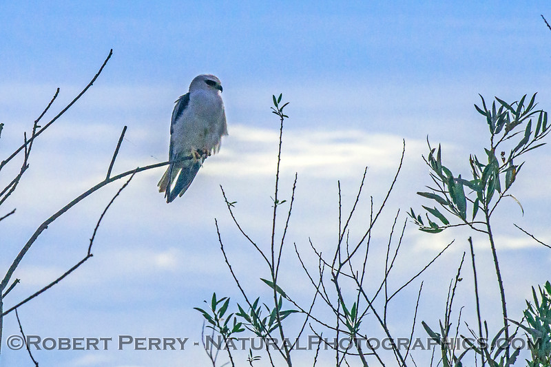 White-tailed kite - a gossamer strand from a ballooning spider can be seen near its right leg.