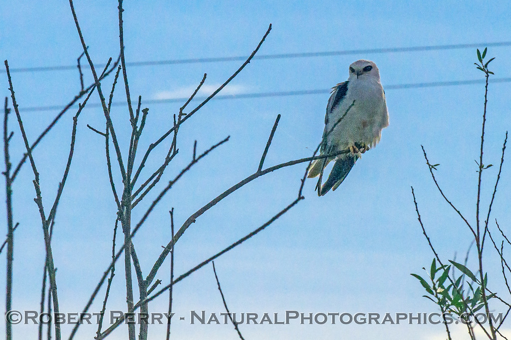 White-tailed kite - again with gossamer spider thread