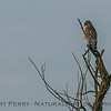 A red-shouldered hawk is seen perched and looking for prey