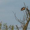 The same red-shouldered hawk takes off and grabs a snake (snake part of the story not shown)