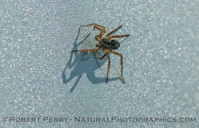 spider - ballooning - CLOSE landed on car 2017 11-27-Yolo ByPass-a-038