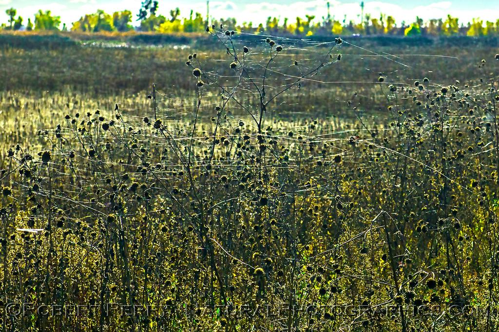 Gossamer strands from ballooning spiders.