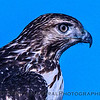 Red-tailed hawk portrait