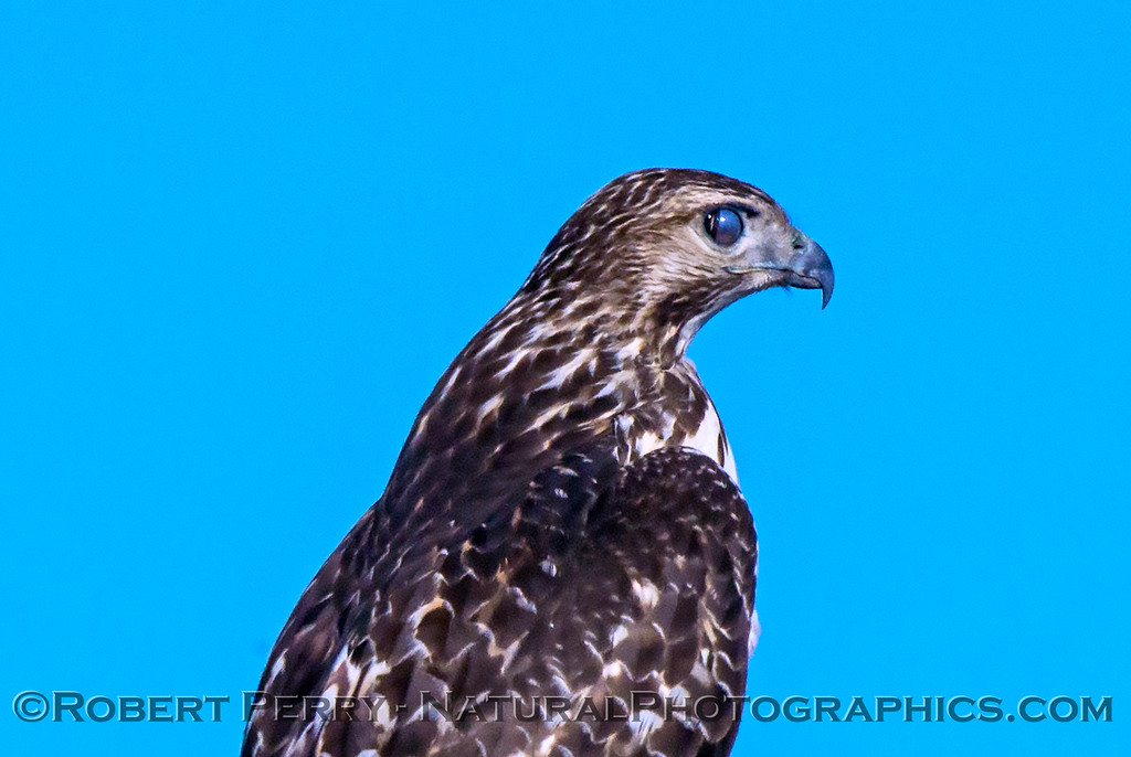 Red-tailed hawk with nictitating membrane partially closed.