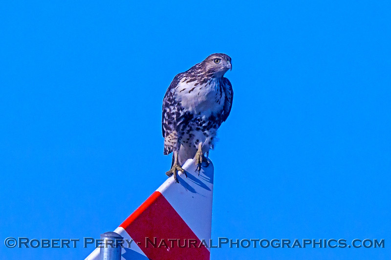 Red-tailed hawk on gas line marker