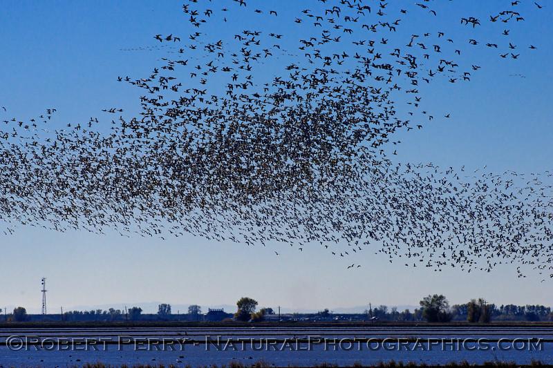 Snow geese murmuration