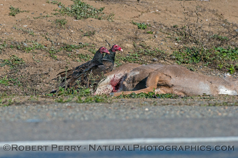 Turkey vultures work on a deer carcass