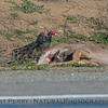 Turkey vultures work on a deer carcass