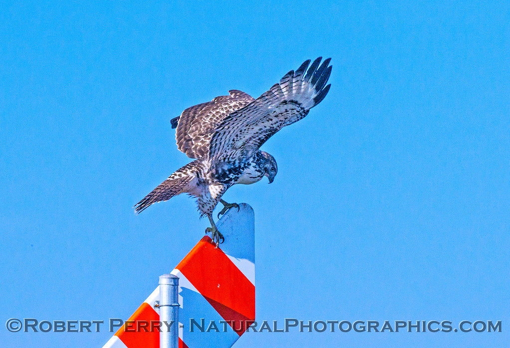Red-tailed hawk balances itself after stretching