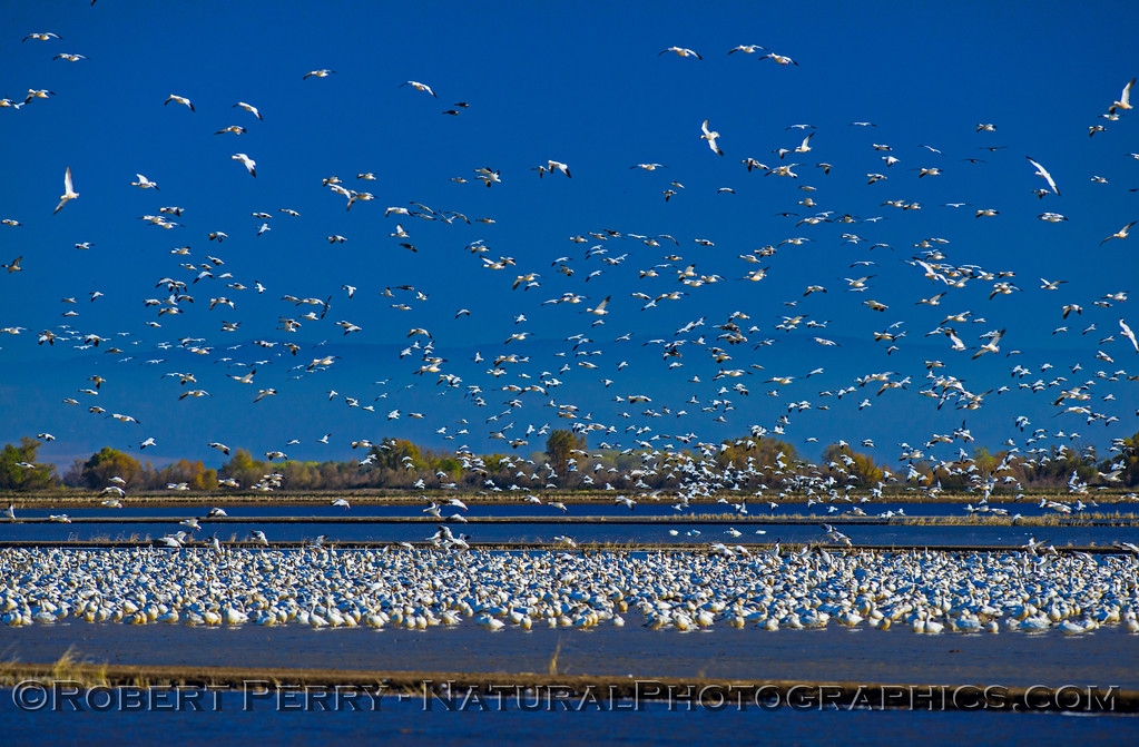 Snow geese masses