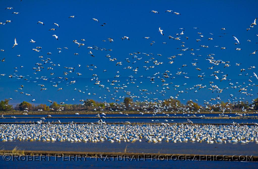 Snow geese masses