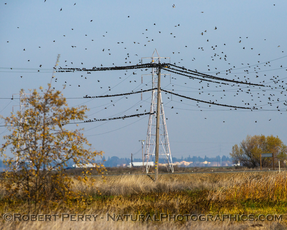 European (American) starling mass on telephone wires