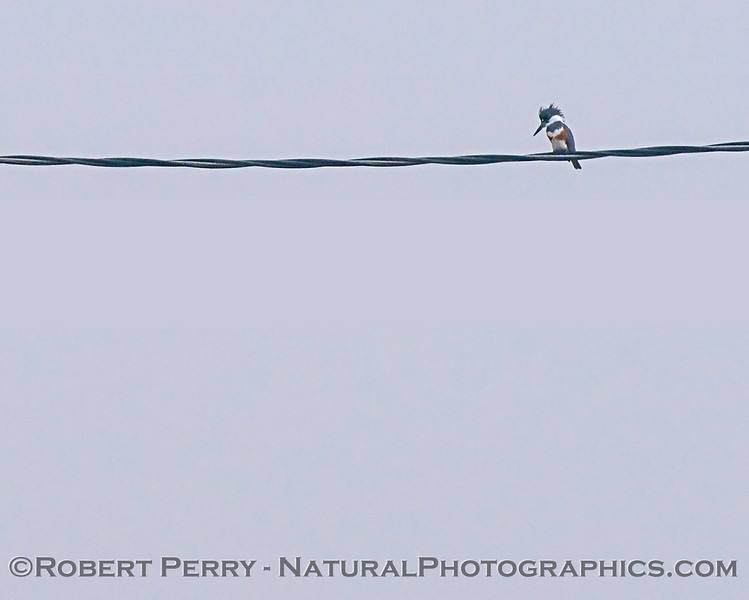 A belted kingfisher on a wire.