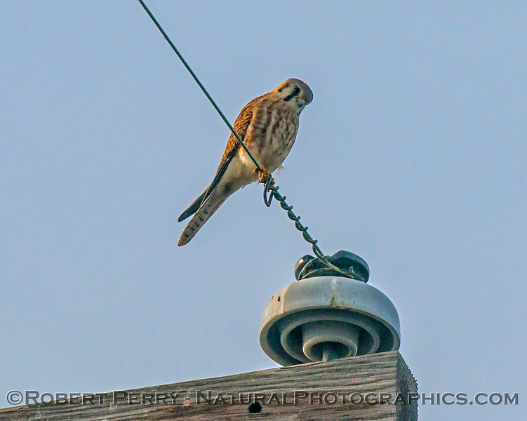 American kestrel - keeping a sharp eye on the camera