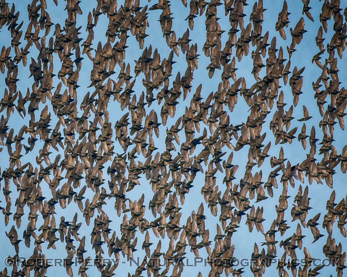 European (American) starling mass - close up