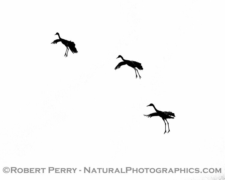 A black-and-white study of three Sandhill cranes preparing to land.