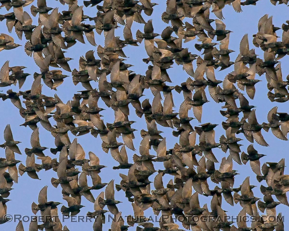 European (American) starling mass (close up)