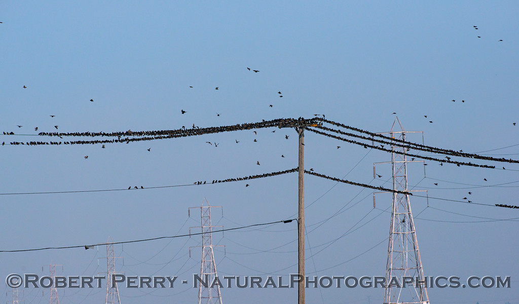 European (American) starling mass on telephone wires (Panorama)