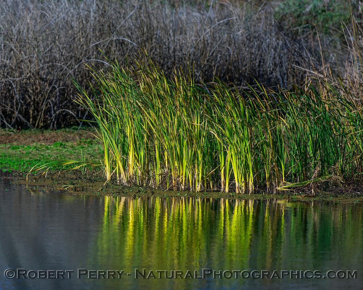 Common Reeds.
