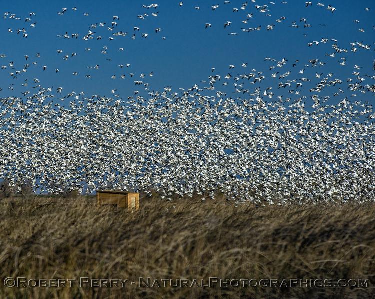 geese flocks masses in flight 2017 12-21 Sac NWR-e-001