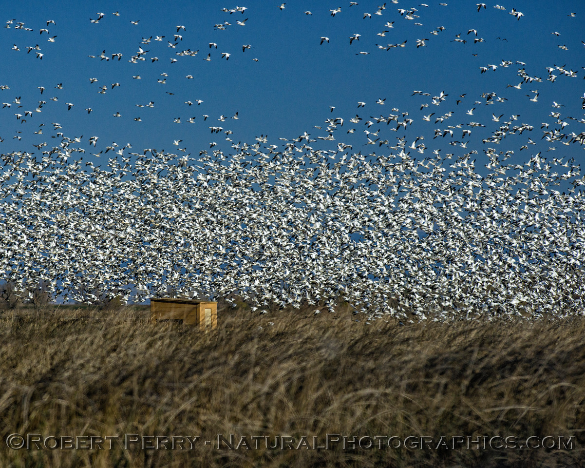 geese flocks masses in flight 2017 12-21 Sac NWR-e-001