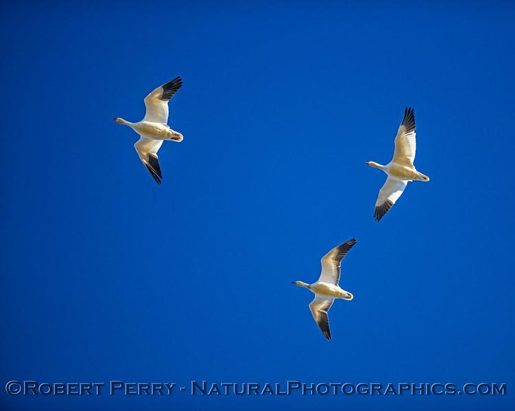Snow geese overhead.