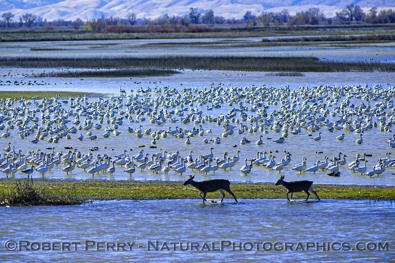 Deer and geese and wetlands