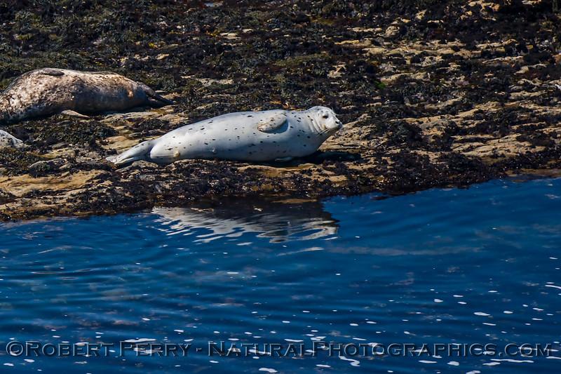 Pacific harbor seal