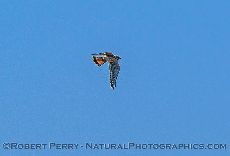 Kestrel.  Pt. Arena fields.