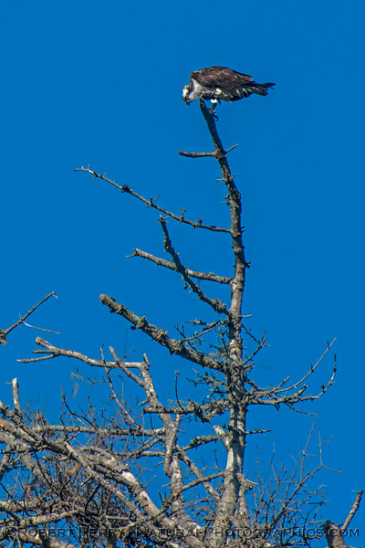Osprey, perched and feeding on a small fish high above the Albion River.