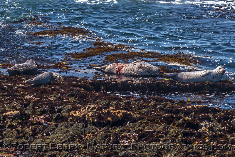 Pacific harbor seals, one with a wound.