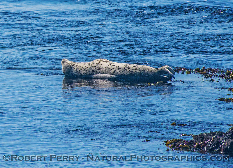 Not a dead Pacific harbor seal...just sun-bathing.