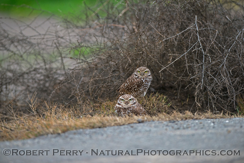 Burrowing owls