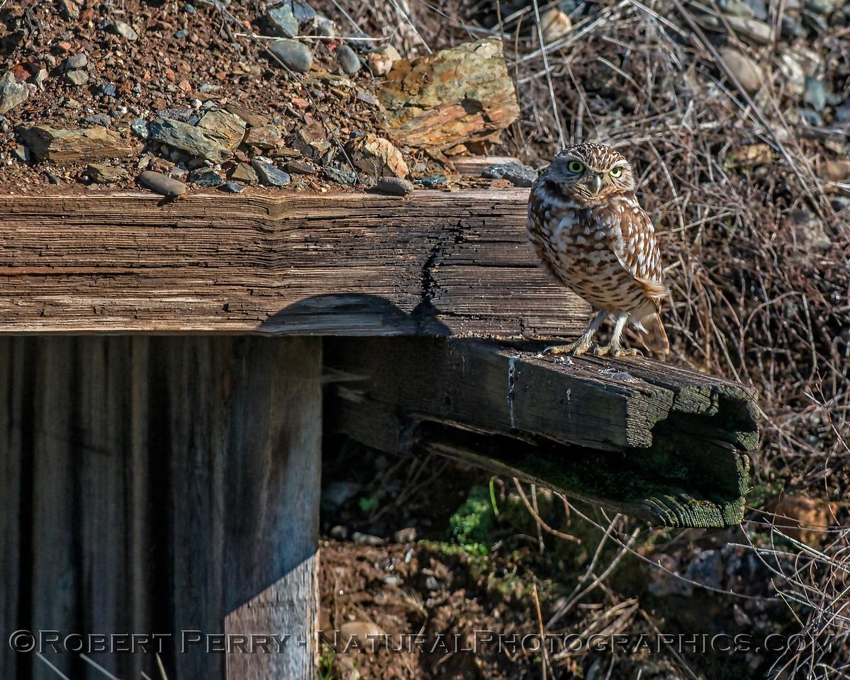 Athene canicularia 2018 01-19 EDH-007