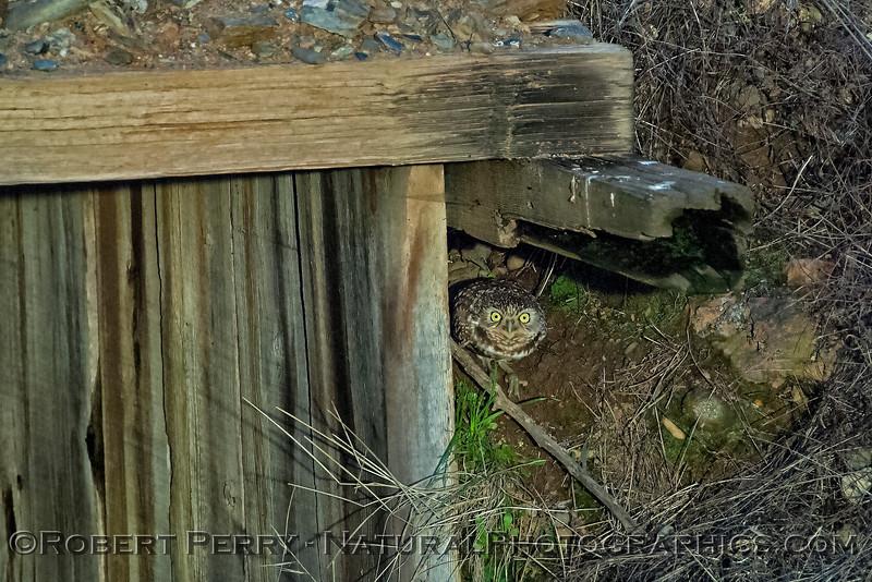 Athene canicularia 2018 01-15 EDH-033