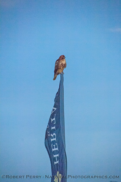 Buteo jamaicensis on flagpole 2018 01-15 EDH-z-041