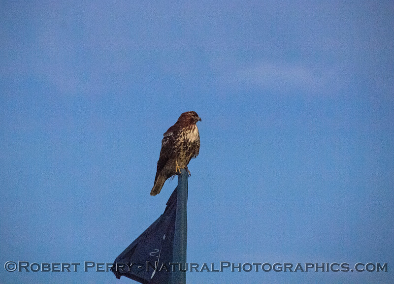 Buteo jamaicensis on flagpole 2018 01-15 EDH-z-054