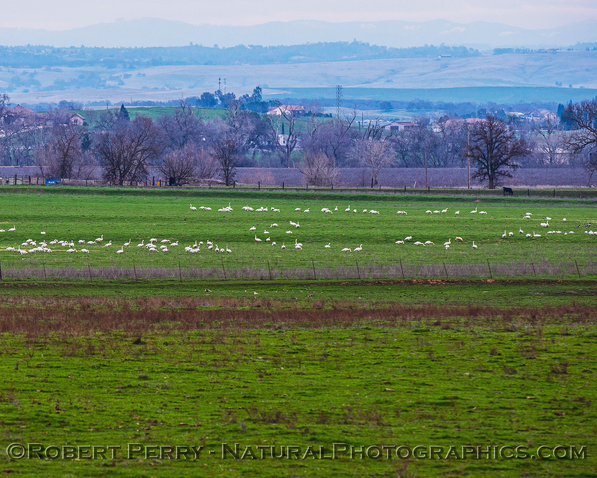 Tundra swans in a pasture.