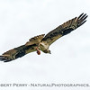 Osprey carrying fish.