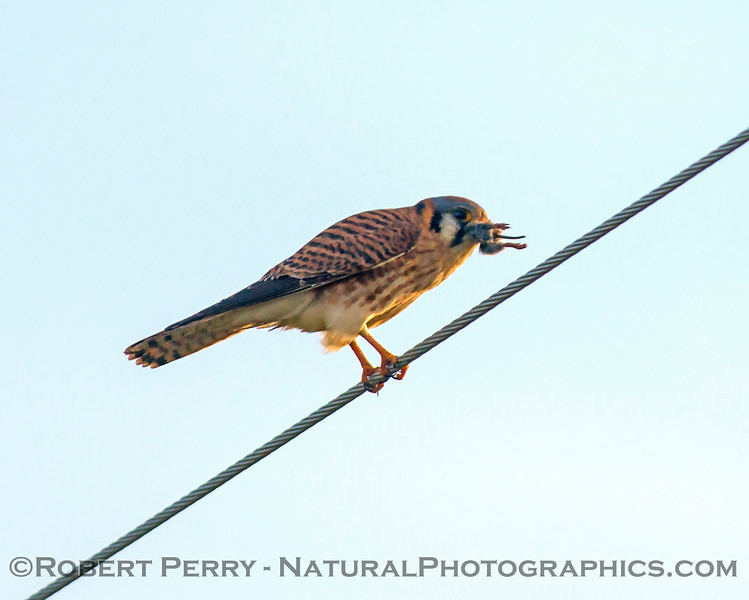 American kestrel feeding on a vole